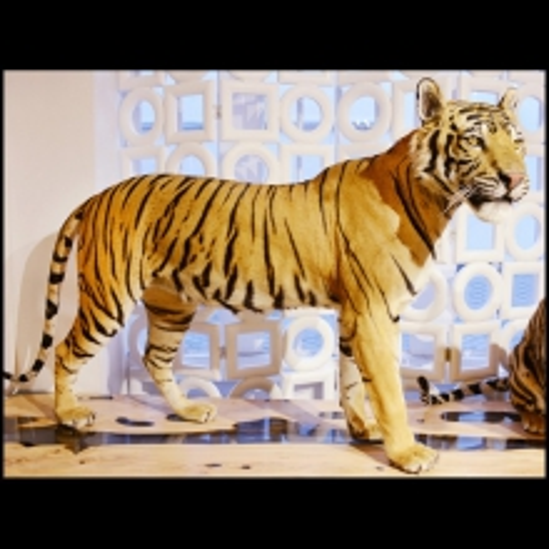 Tigre du Bengale naturalisé travail exceptionnel PC-Bengal Tiger