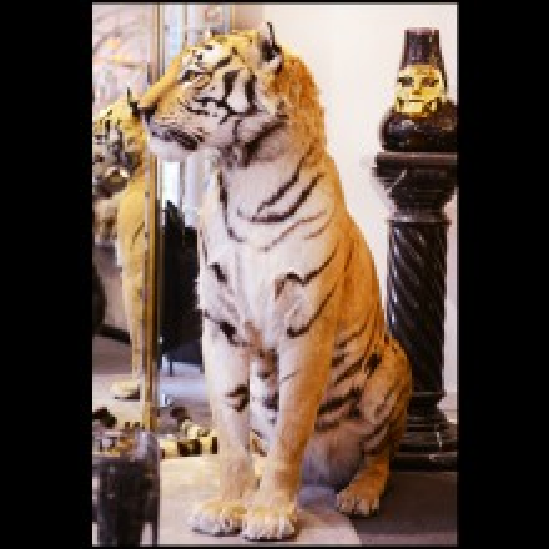 Tigre du Bengale naturalisé, travail excpetionnel fait main PC-Bengal Tiger
