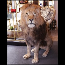 Naturalised Lion taxidermy exceptional piece PC-Lion