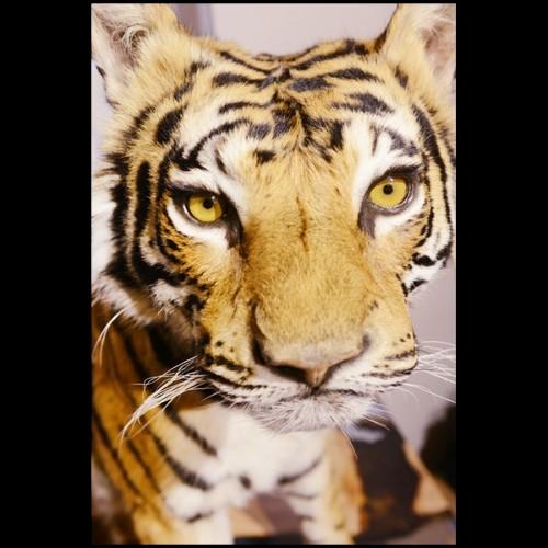 Fauteuil en cuir, structure en chêne, 9 finitions disponibles 31-Cocoon Chesterfield